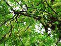 Naringi crenulata flowering twig.JPG