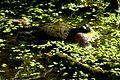 Nationalpark Jasmund - Modderstubben - Gelbbauchunke (1).jpg