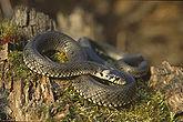 Die Ringelnatter (Natrix natrix) ist eine häufig in Europa anzutreffende ungiftige Schlange.