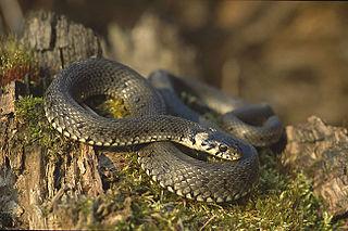 Alethinophidia infraorder of reptiles