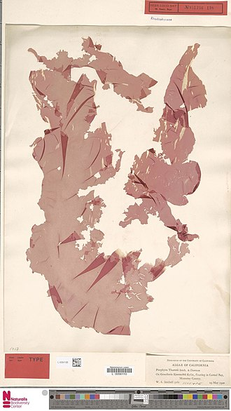 Pyropia - Image: Naturalis Biodiversity Center L.4084188 Porphyra thuretii Setch. and E.Y.Dawson Algae Plant type specimen