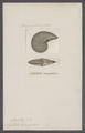 Nautilus triangularis - - Print - Iconographia Zoologica - Special Collections University of Amsterdam - UBAINV0274 091 03 0022.tif