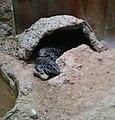 Negev Zoo reptile IMG 0976.JPG