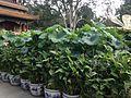 Nelumbo nucifera in Jingshan Park.jpg