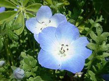 Nemophila-menziesii-20080330.JPG