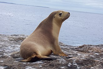Eared seal - An Australian sea lion (Neophoca cinerea)