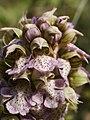 Neotinea lactea (flowers).jpg