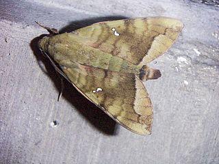 <i>Nephele</i> (moth) Genus of moths