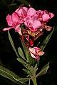 Nerium oleander 1DS-II 4-4341.jpg