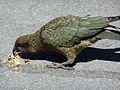 Nestor notabilis -Arthur's pass -snacking in car park-8c.jpg