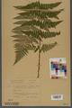 Neuchâtel Herbarium - Dryopteris dilatata x paleacea - NEU000000926.tiff
