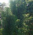 Newbouldia laevis Seem. Bignoniaceae Akoko..JPG