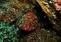 Northland Scorpion fish - Poor Knights Islands.jpg