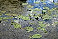 Nuphar lutea native waterlily at Woods Mill, Sussex Wildlife Trust, England 06.jpg