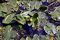 Nuphar lutea native waterlily at Woods Mill, Sussex Wildlife Trust, England 09.jpg
