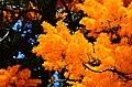 Nuytsia floribunda - Flickr - jeans Photos (1).jpg