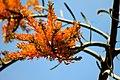 Nuytsia floribunda flower close view.jpg