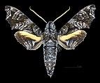 Nyceryx eximia MHNT CUT 2010 0 169 Cochacay La Troncal Canar Ecuador male dorsal.jpg