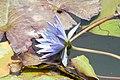 Nymphaea Blue Beauty 1zz.jpg