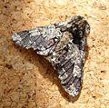Oak Beauty. Biston strataria. Goemetridae. Ennominae. - Flickr - gailhampshire.jpg