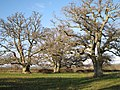 Oaks near Teigngrace - geograph.org.uk - 1730377.jpg