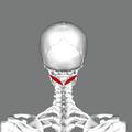 Obliquus capitis inferior muscle back.png