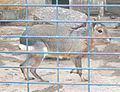 Odesa-zoo (Dolichotis patagonum).jpg
