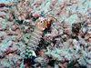 Odontodactylus scyllarus2.jpg
