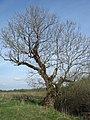 Old ash tree - panoramio.jpg