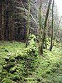Old overgrown Drystane Dyke - geograph.org.uk - 759452.jpg