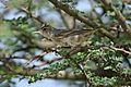 Olive-tree warbler, Hippolais olivetorum, at Elephant Sands Lodge, Botswana (32248894256).jpg