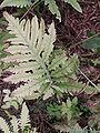 Onoclea sensibilis fronde.jpg