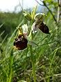 Ophrys holoserica sl4.jpg