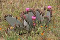 Opuntia basilaris 7956.JPG