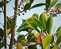 Orange-chinned Parakeet. Brotogeris jugularis - Flickr - gailhampshire.jpg
