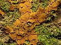 Orange Slime Mould (27979923034).jpg