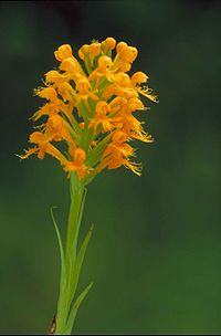 Orange yellow crested orchid platanthera cristata blossoms on stem.jpg