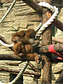 Orangutan (sumatran) 03.JPG