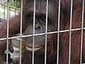 Orangutan Tennoji Zoo.jpg