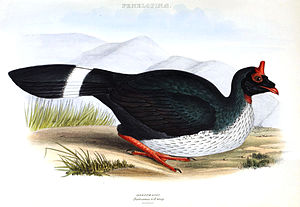 Horned guan - Image: Oreophasis Gray