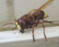Oriental Wasp 2.jpg