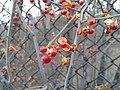 Oriental bittersweet winter 5.jpg