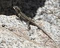 Ornate Tree Lizard - Flickr - treegrow (4).jpg