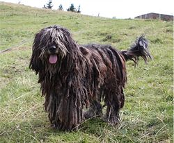 Bergamasco Popular Herding Dogs