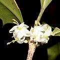 Osmanthus heterophyllus (flower s6).jpg