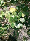 Osmanthus heterophyllus Rotundifolius1