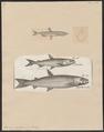 Osmerus eperlanus - 1700-1880 - Print - Iconographia Zoologica - Special Collections University of Amsterdam - UBA01 IZ14800061.tif