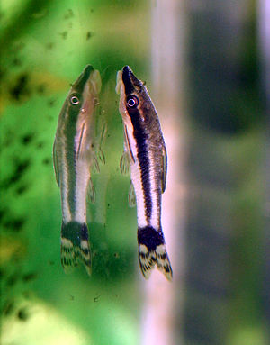 List of freshwater aquarium fish species