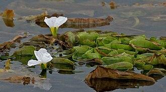 Hydrocharitaceae - Ottelia alismoides