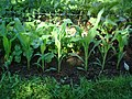 Our First Vegetable Garden (8428643519).jpg